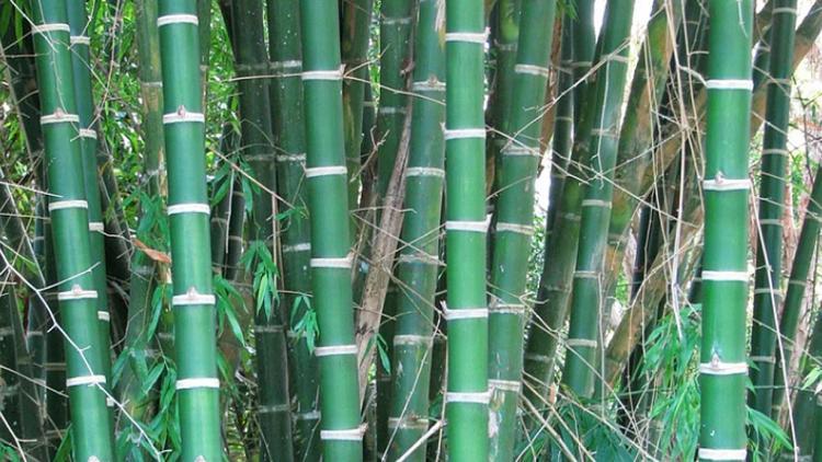 Estudian en Argentina el potencial del bambú para alimentación humana y animal