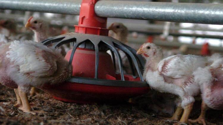 Aseguran que la suba del gas y la luz pone en riesgo a productores avícolas